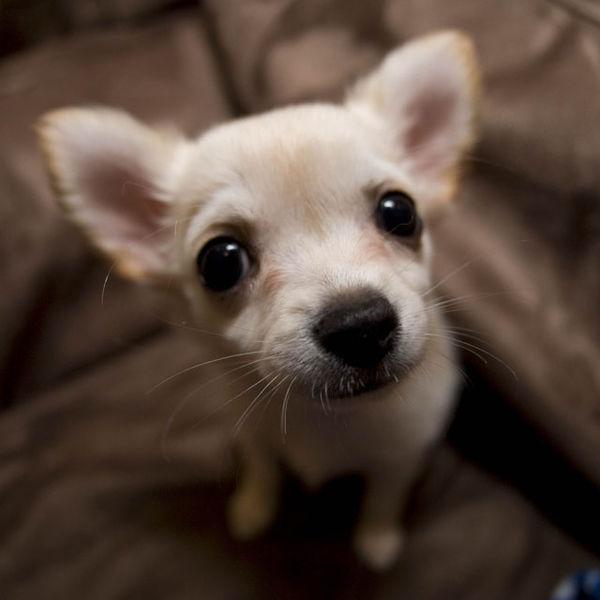 chihuahua-puppy-list-trend