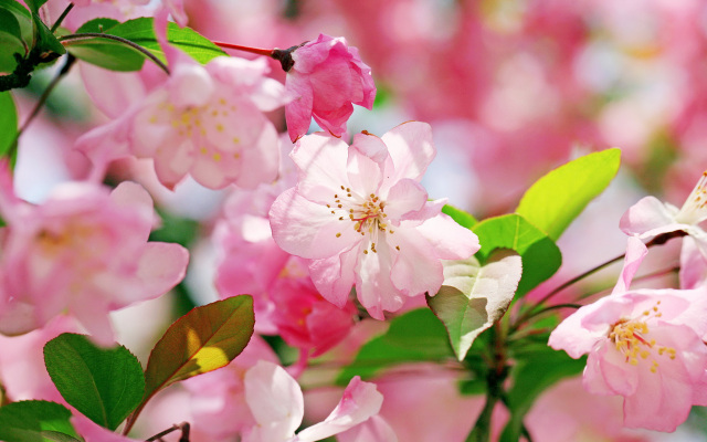 Windows 8 Pink Flower Wallpapers