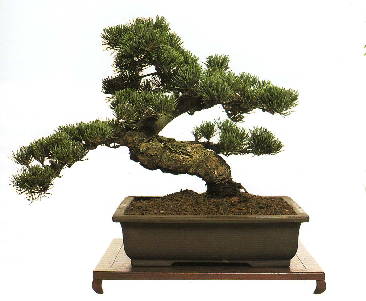 Top unique bonsai trees gallery for Cool bonsai tree