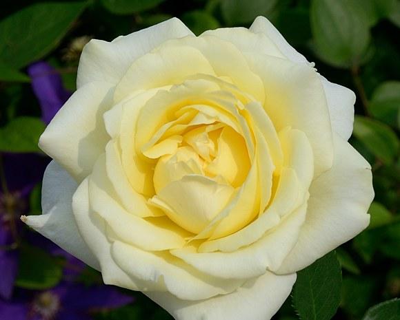 Elina сорт розы фото купить саженцы Минск