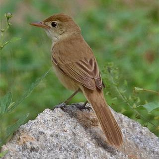 Suara burung Thick-billed warbler joss