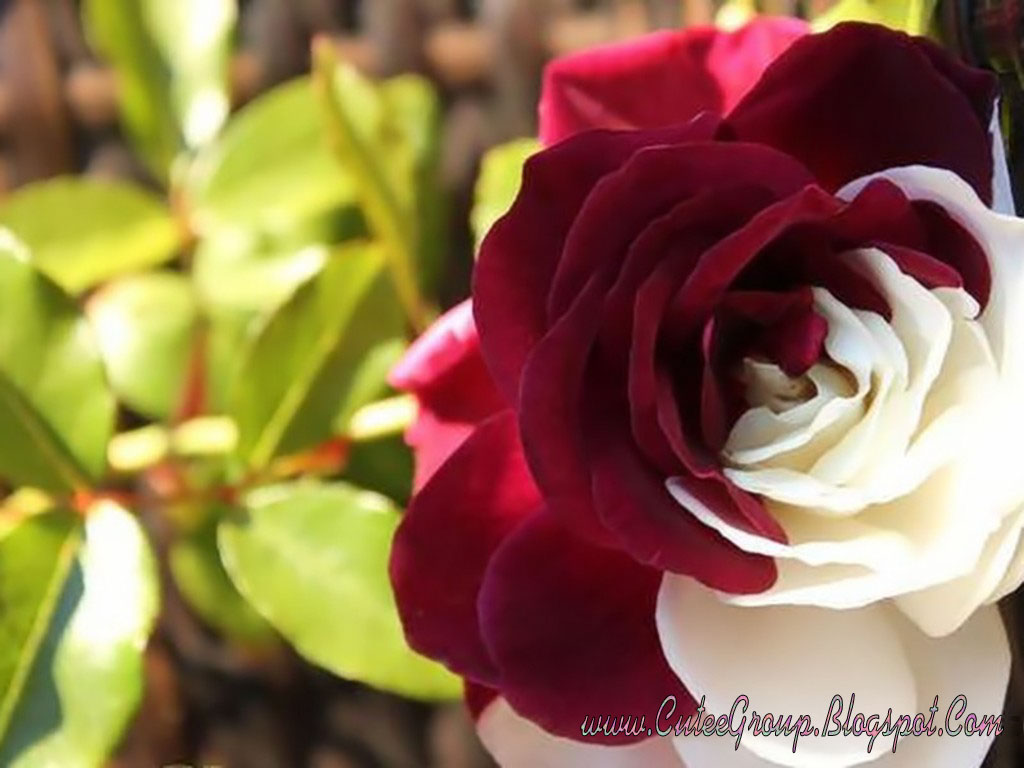 red and white rose wallpaper - photo #3