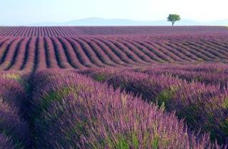 Foto Bunga Lavender Ungu yang Indah 14