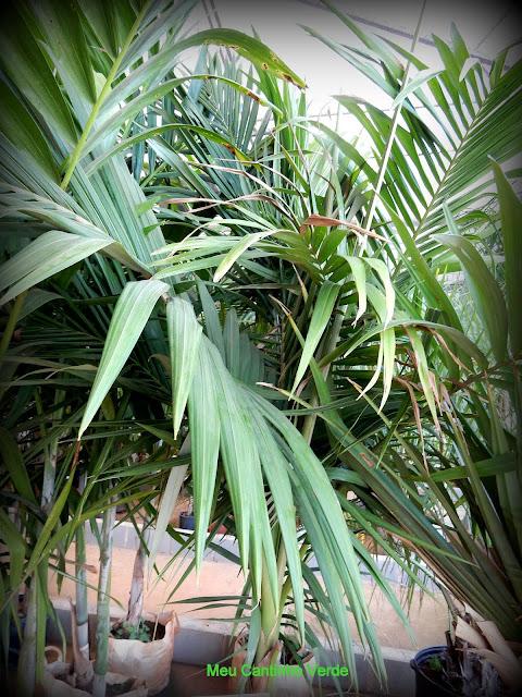 Folhas ARECA-DE-LOCUBA - ( Dypsis madagascariensis )