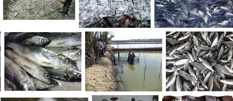 Mengenal Ikan Bandeng Secara Detail