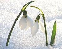 Kar üzerinde kardelen çiçekleri