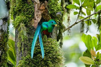 resplendent-quetzal-wallpaper