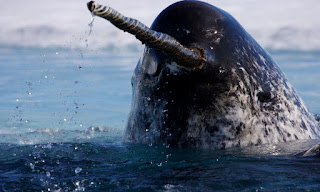 Narwhal 11
