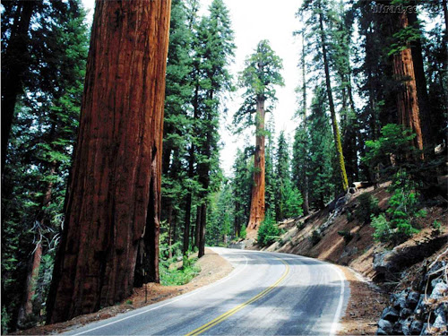 sequóia - maiores árvores do mundo