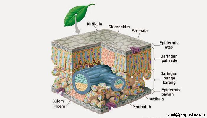 Struktur Daun Tumbuhan dan Fungsinya
