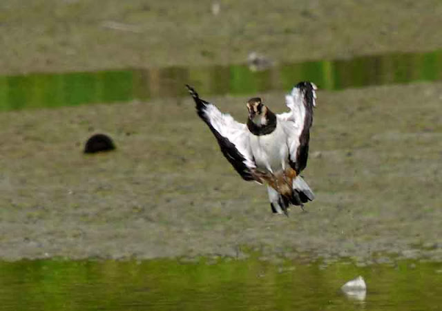 funny pose of bird in flight over water