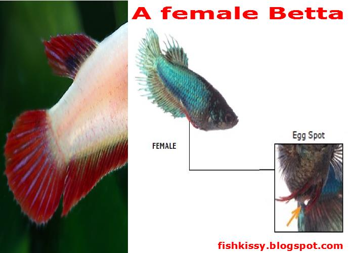 about the male and female betta fish mating behaviors