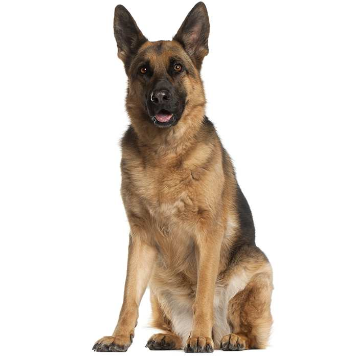15 Amazing German Shepherd Facts ~ Ask For Dogs
