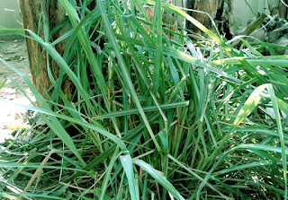 Nature power and benefits of Lemongrass