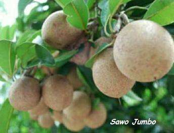 bibit sawo jumbo | bibit sawo vietnam | tanaman sawo jumbo | budidaya sawo jumbo | ciri ciri sawo jumbo | ciri ciri sawo vietnam