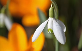 Wallpaper: Snowdrops & crocuses