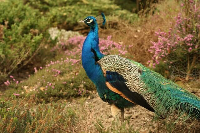 Blue Green and Orange Peacock Standing in the Ground During Daytime HD Copyright Free Image