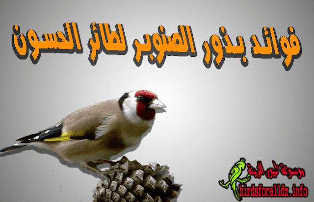 فوائد بذور الصنوبر (الزقوقو) لطائر الحسون