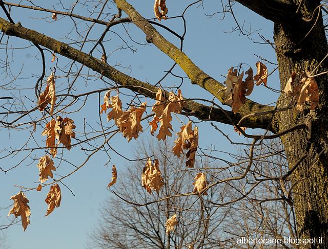 foglie secche di quercia