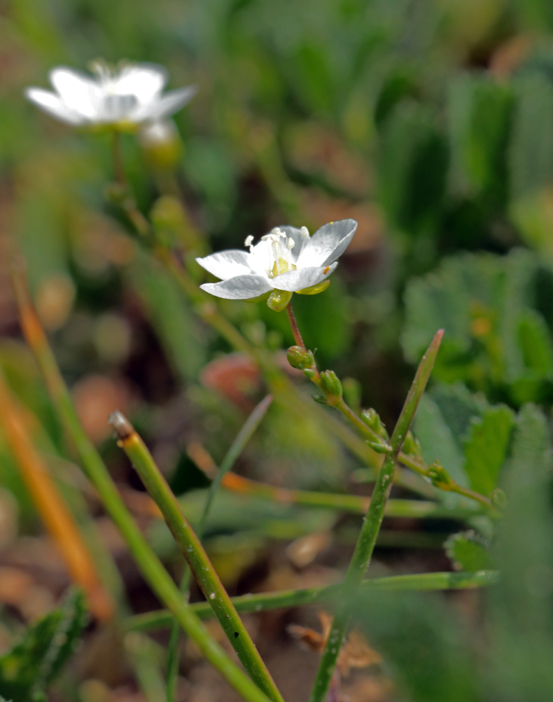 A botanical journey mostly from kent se england july 2016 at first i ignored the multitude of these tiny white flowers thinking they were sandworts but eventually i had a closer look and found them to be knotted dhlflorist Image collections