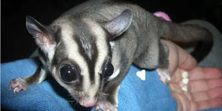 Jual Sugar Glider black beauty murah