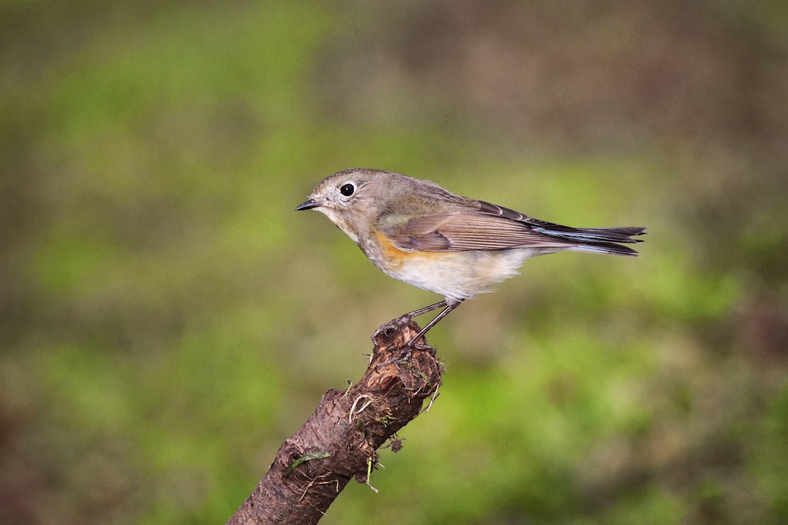Red-flanked Bluetail - Simon Colenutt