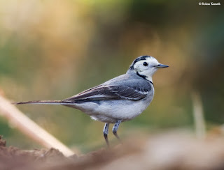 Indian wagtail