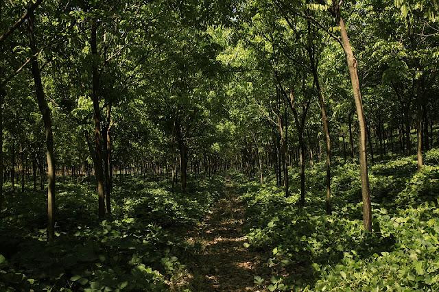 Conversão de floresta tropical para plantio de seringueira pode afetar fauna do solo  Textos para aula de Biologia
