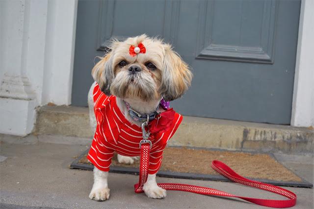 Indigo and Mouse Shih Tzu Dog Model