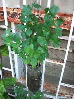 El Apio  (Apium graveolens)