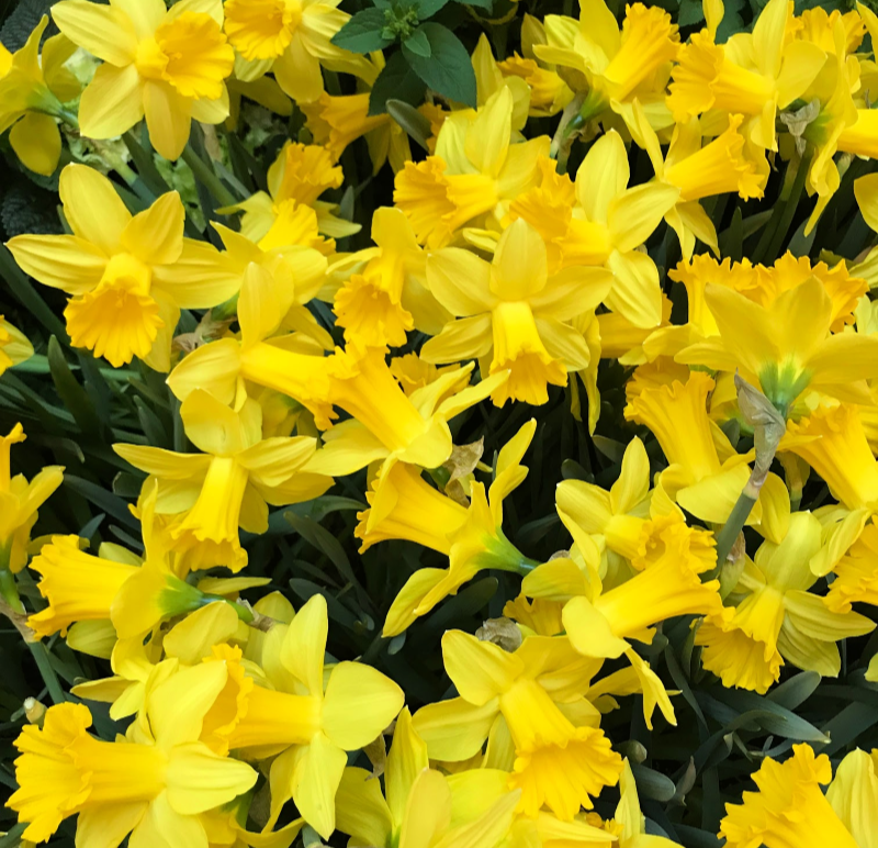 a patch of daffodils