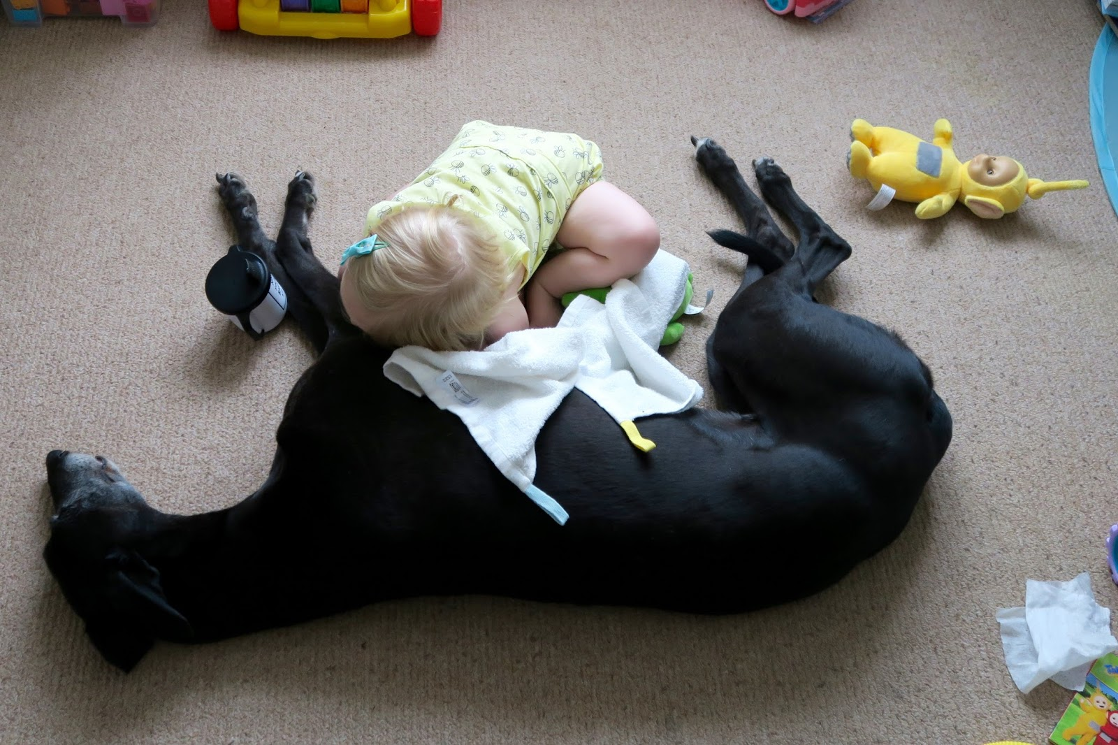 Toddler lying down on greyhounds tummy