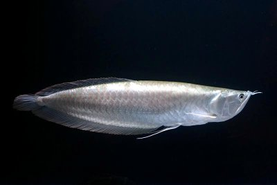 Arwana silver ikan hias air tawar