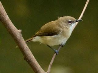 Burung remetuk dada-cokelat atau yang juga dijenal dengan remetuk pakis ini merupakan salah satu dari sekian banyak jumlah burung remetuk yang terdapat di Indonesia