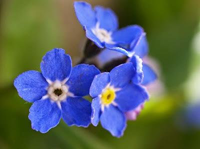 Nomeolvides (Myosotis ramosissima) flor silvestre azul