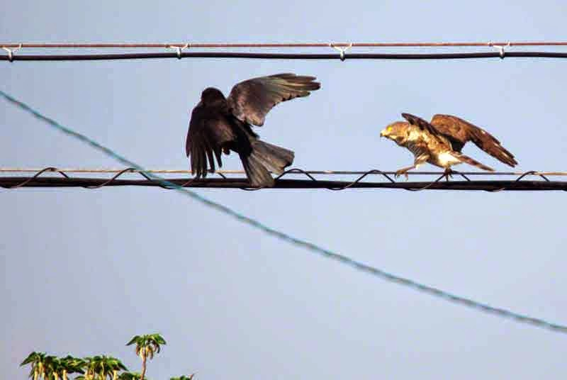 Buzzard Eagle and Crow, power lines