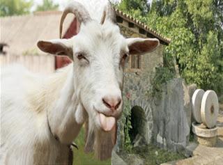 Il capraio e le capre selvatiche (Esopo)