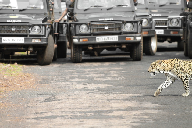 A Tadoba wildlife jeep safari leopard road crossing experience