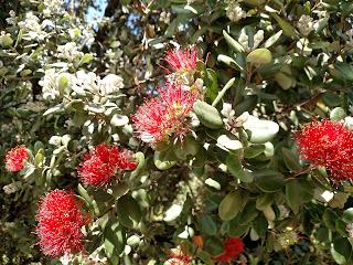 Arbol de hierro – metrosideros excelsa colombia andes tree arbol leaves red flowers