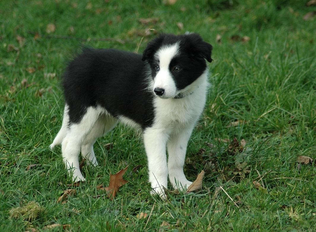 Cute Black And White Border Collie | 2017 - 2018 Best Cars ...