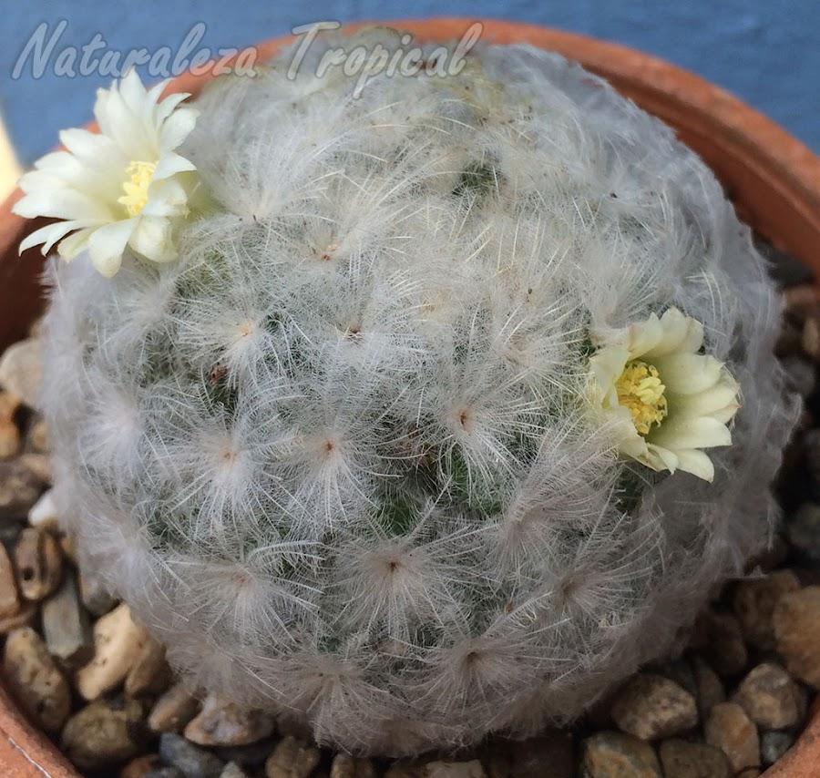 Otra foto del cactus Bola de Nieve, Mammillaria plumosa