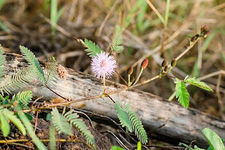 Mimosa sensitiva, una planta muy curiosa