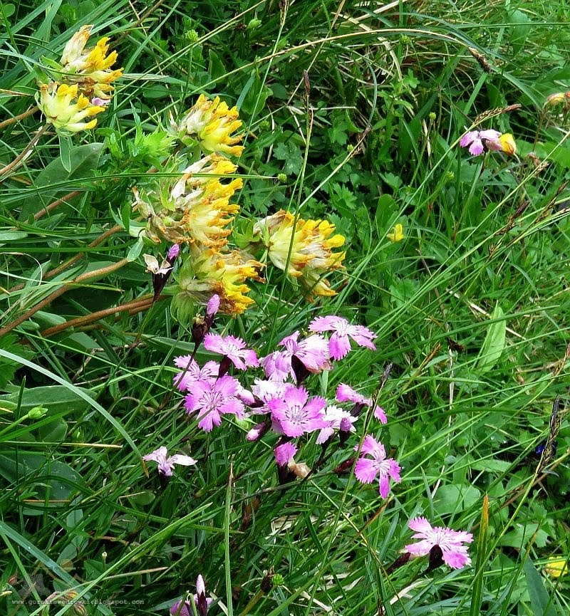 Przelot alpejski (Anthyllis alpestris (Schult.) Kit.) i goździk lśniący (Dianthus nitidus Waldst. & Kit.)