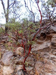 red bark on dogwood tree southern arizona