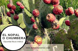 Tuna fruto del nopal en fichas de plantas medicinales