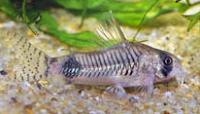 Jenis Ikan Corydoras ortegai