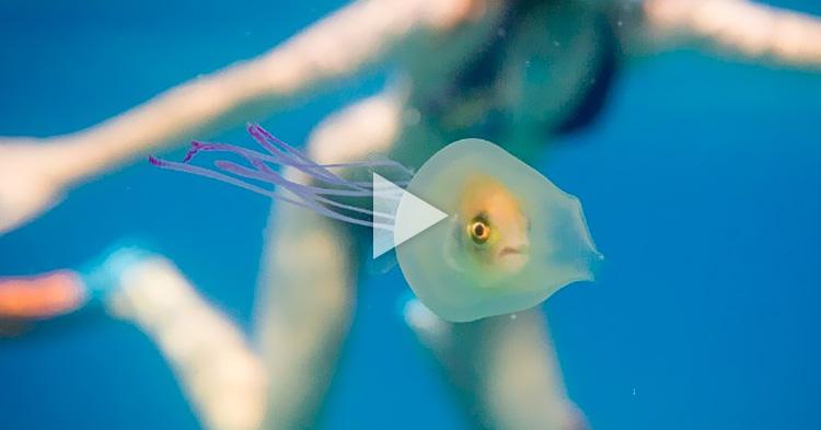 Maliit na isda, nakulong sa loob ng isang Jellyfish