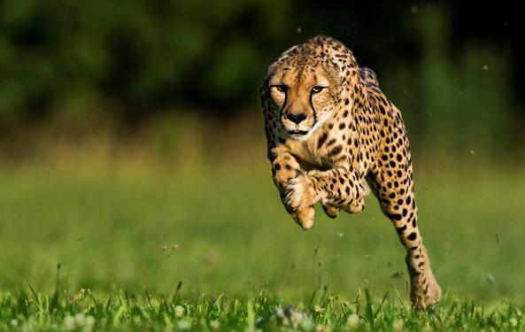 Ini yang Membuat cheetah Berlari Kencang Tanpa Oleng