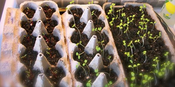 poţi face mini-ghivece pentru flori din cartoanele de ouă