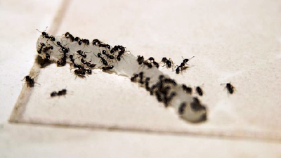 How To Get Rid Of Little Black Ants | How To Get Rid Of Anything That Annoying You